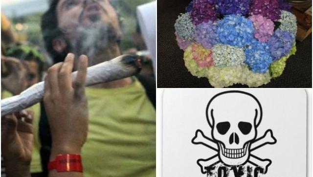 39 porros 39 de hortensia un sustituto de la marihuana - Porros de hortensias ...