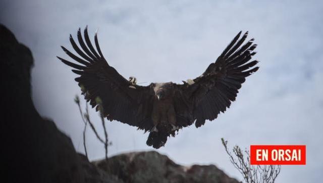Siete cóndores fueron liberados en Sierras Paileman, Río Negro